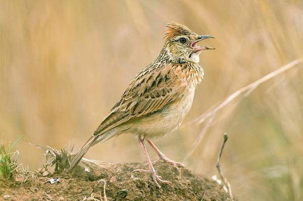 Rufous Photograph - Rufous-naped Lark by Peter Chadwick/science Photo Library
