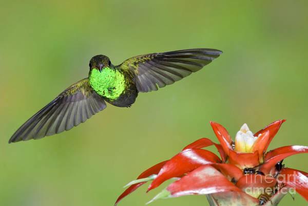 Photograph - Rufous-tailed Hummer-ecuador by Anthony Mercieca
