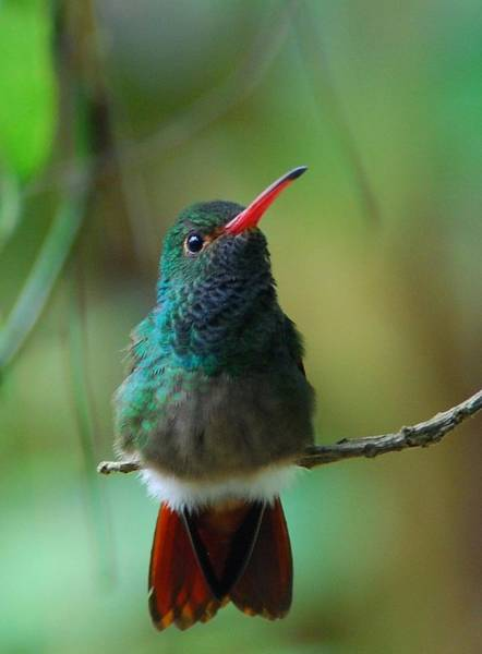 Photograph - Rufous-tailed Hummingbird by Cascade Colors