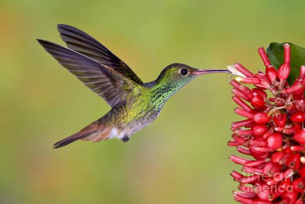 Photograph - Rufous-tailed Hummingbird by Anthony Mercieca