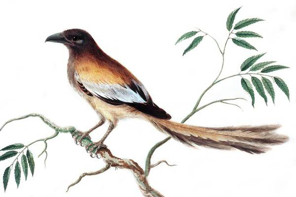 Rufous Photograph - Rufous Treepie Bird by Natural History Museum, London/science Photo Library