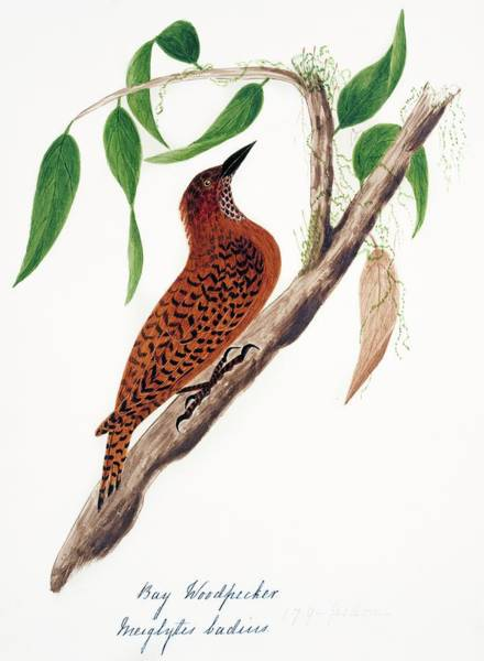 Rufous Photograph - Rufous Woodpecker by Natural History Museum, London/science Photo Library