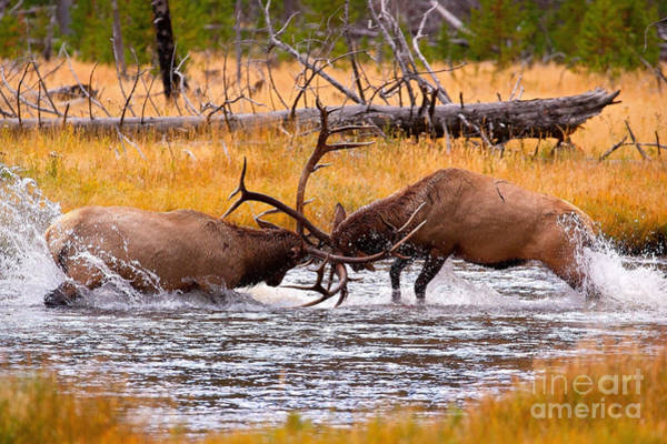 Wapiti Photograph - Rumble In The River by Aaron Whittemore
