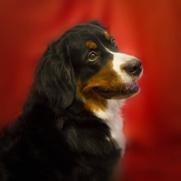 Breed Of Dog Photograph - Rumor Has It by Jean Noren