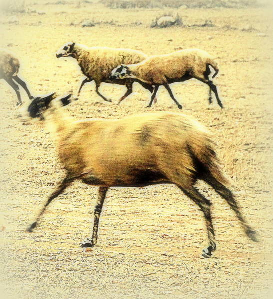 Capable Photograph - Running Even Faster Than The Other Sheep  by Hilde Widerberg