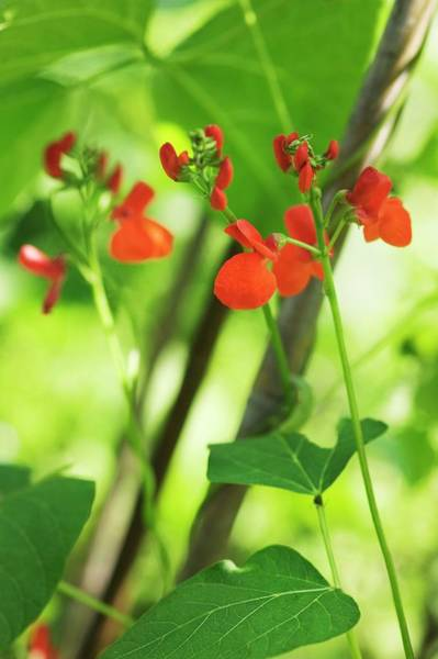Vegetable Patch Wall Art - Photograph - Runner Bean (phaseolus Coccineus) by Gustoimages/science Photo Library