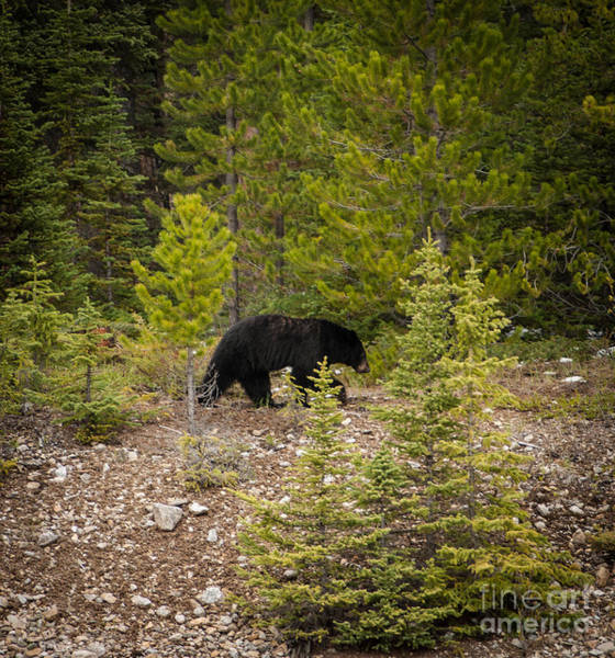 Photograph - Running Bear by Blake Webster