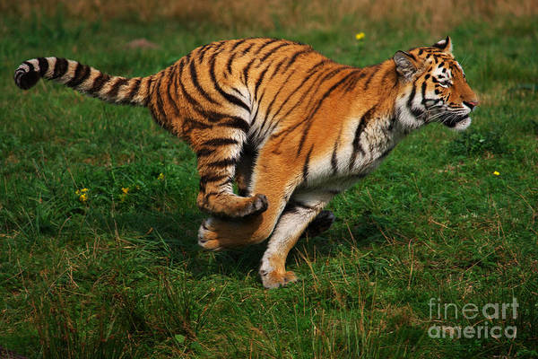 Photograph - Running Siberian Tiger by Nick  Biemans