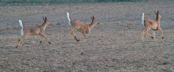 White Tailed Deer Photograph - Running White-tailed Deer by Dan Sproul