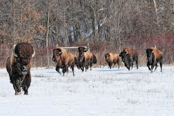 Photograph - Running Wild by John Kiss