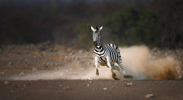 Frightening Wall Art - Photograph - Running Zebra by Johan Swanepoel