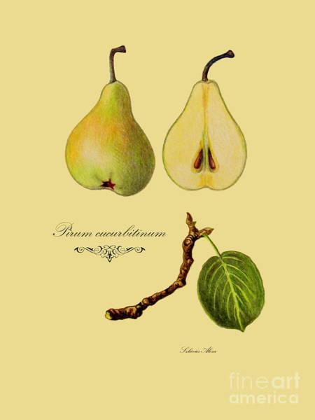 Drawing - Russet Pear by Alexa Szlavics