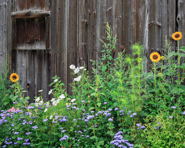 Photograph - Rustic Barn Wood And Summer Flowers by Bill Wakeley