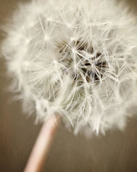 Lisa Russo Wall Art - Photograph - Rustic Dandelion In Shades Of Brown And Beige by Lisa Russo