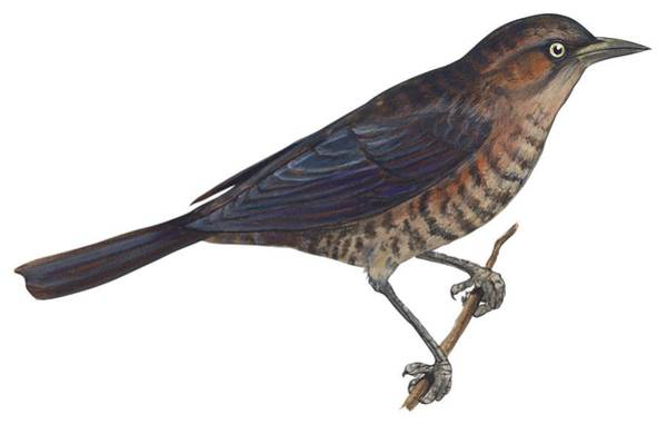 Full Length Drawing - Rusty Blackbird  by Anonymous