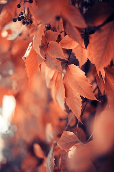 Wild Grape Photograph - Rusty Leaves Of Wild Grape by Jenny Rainbow