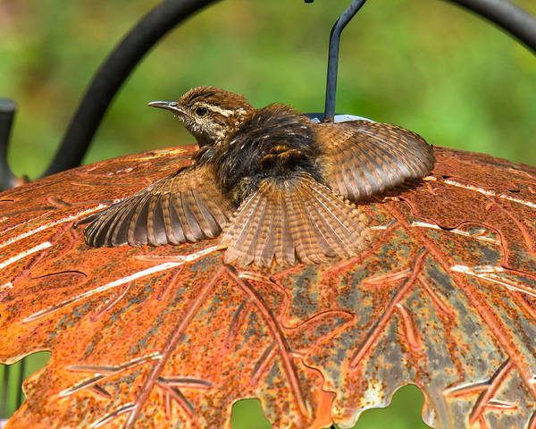 Photograph - Rusty The Wren by Robert L Jackson