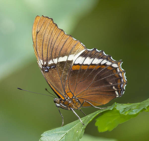 Photograph - Rusty Tipped Butterfly by Sean Allen