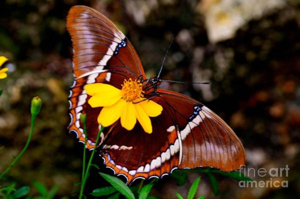 Photograph - Rusty-tipped Page Butterfly by AnnaJo Vahle