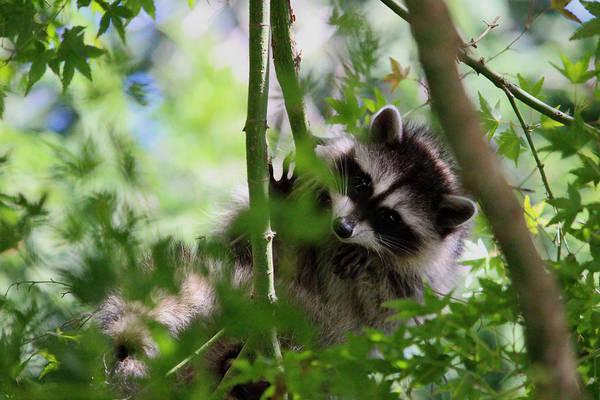 Raccoon Photograph - Rut Row I'm Falling by Kym Backland