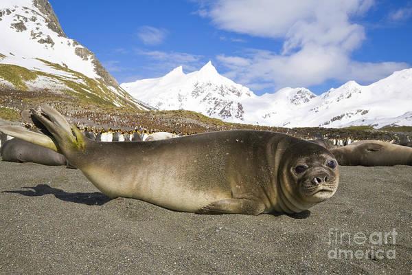 Photograph - Southern Elephant Seal Pup by Yva Momatiuk John Eastcott