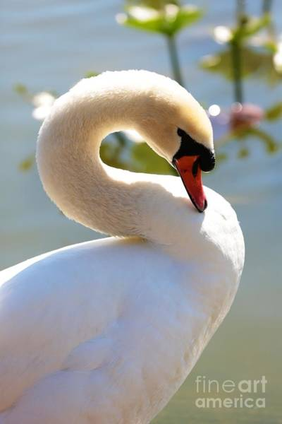 Photograph - S Is For Swan by Carol Groenen