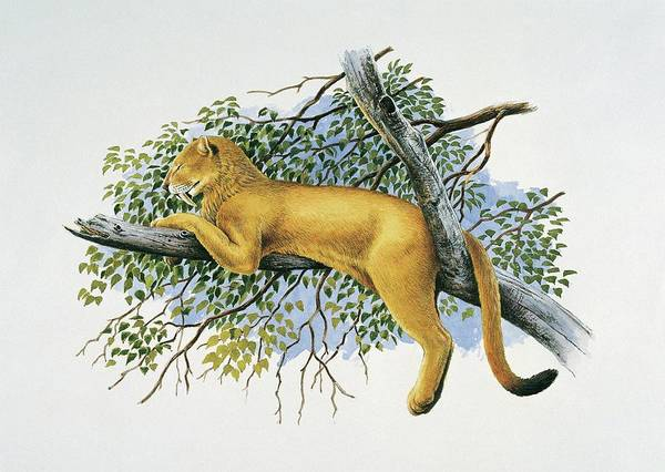 Saber Tooth Lion Art Print by Deagostini/uig/science Photo Library