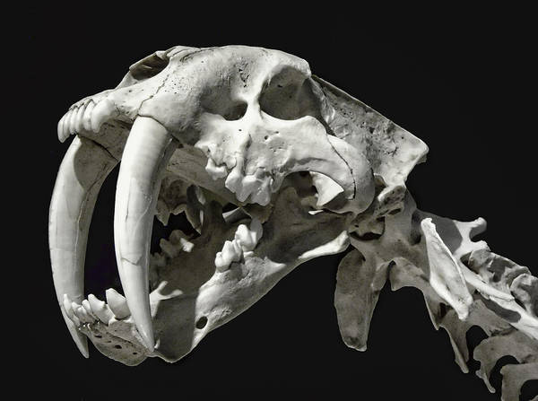 Smilodon Wall Art - Photograph - Saber-toothed Tiger Skull by Daniel Hagerman
