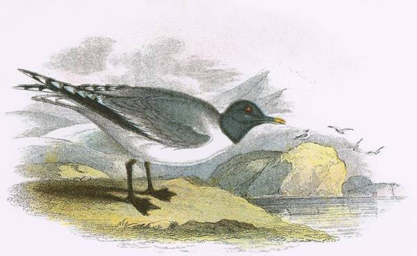 Ornithology Photograph - Sabines Gull by English School