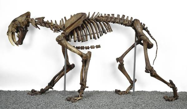Smilodon Wall Art - Photograph - Sabre-toothed Cat, Fossil Skeleton by Science Photo Library
