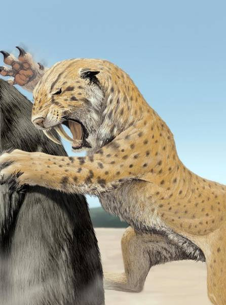 Smilodon Wall Art - Photograph - Sabre-toothed Cat by Jaime Chirinos/science Photo Library