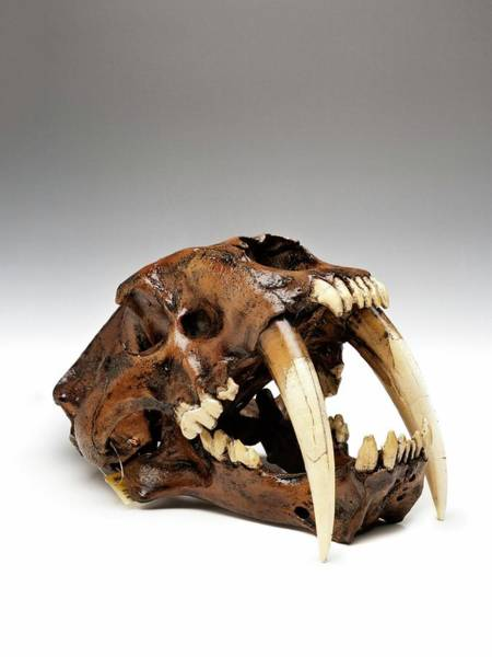 Anatomical Model Wall Art - Photograph - Sabre-toothed Cat Skull by Ucl, Grant Museum Of Zoology