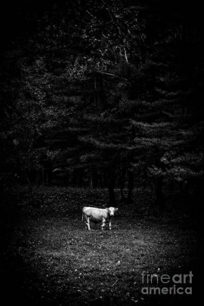 Photograph - Sacred Cow Open Edition by Edward Fielding