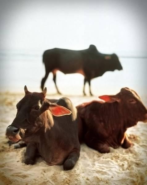 Sacred Cows On The Beach Art Print