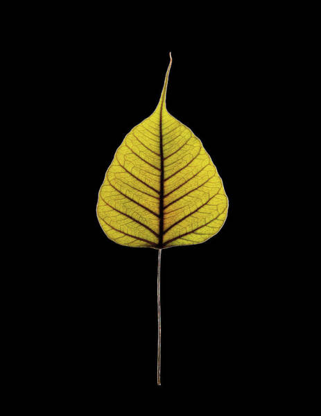 Fig Tree Wall Art - Photograph - Sacred Fig (ficus Religiosa) Leaf by Gilles Mermet