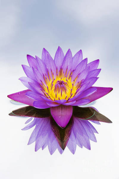 Pink Lotus Flower Photograph - Sacred Indian Blue Lotus Flower by Tim Gainey