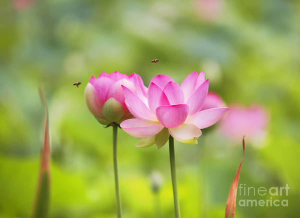 Pink Lotus Flower Photograph - Sacred Lotus by Bill  Robinson