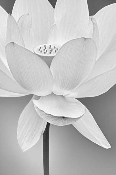 Photograph - Sacred Lotus Blossom Bw by Susan Candelario