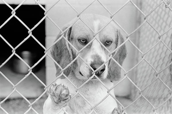 Chain Link Photograph - Sad Beagle Dog Looking Through Chain by Vintage Images