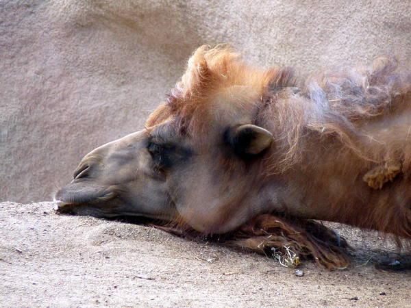 Photograph - Sad Camel by Jeff Lowe
