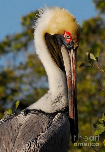 Brown Pelicans Photograph - Sad Eye's by Quinn Sedam