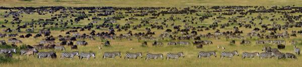 Migrate Photograph - Safari Animals Migration, Serengeti by Panoramic Images