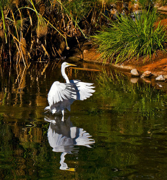 Photograph - White Heron And Reflection by Ginger Wakem