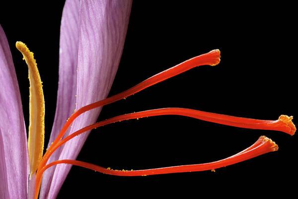 Medicinal Photograph - Saffron Flower by Mauro Fermariello/science Photo Library