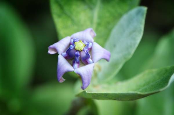 Purple Sage Photograph - Botanical Art Print - Star Of The Garden - By Sharon Cummings by Sharon Cummings