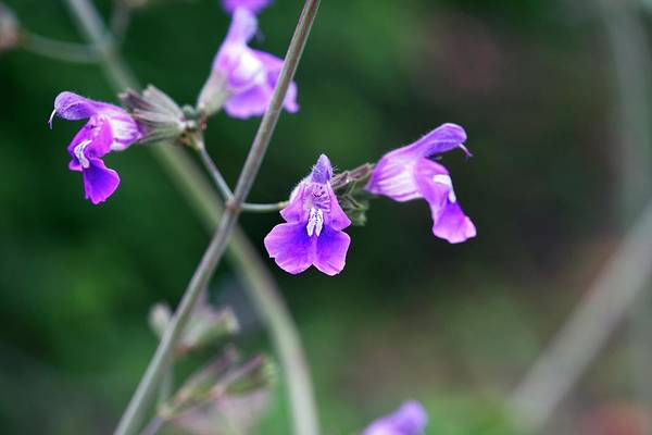 Purple Sage Photograph - Sage (salvia Candelabrum) by Sam K Tran/science Photo Library