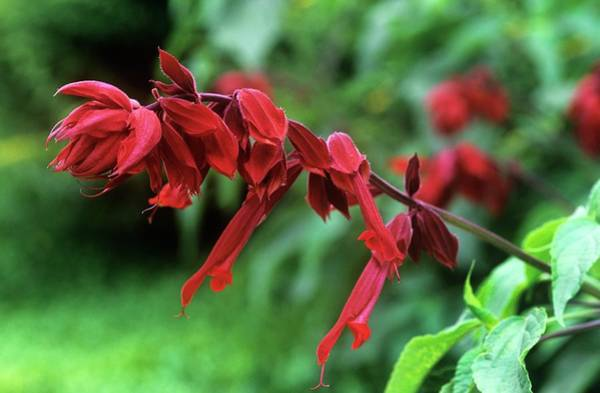 Wall Art - Photograph - Sage (salvia 'van-houttei') by Tony Wood/science Photo Library