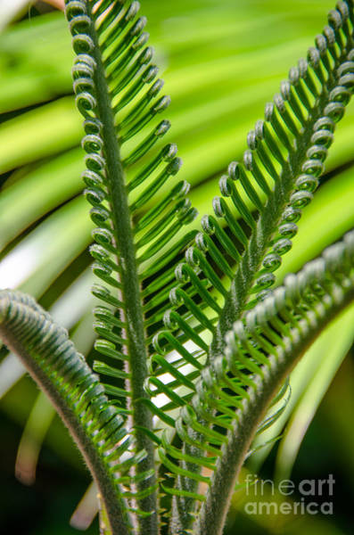 Photograph - Sago Palm Growth by Dale Powell
