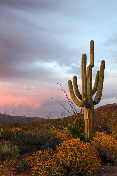 Photograph - Saguaro At Dusk by Theo OConnor