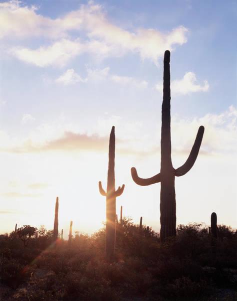 Backcountry Photograph - Saguaro Cacti (carnegiea Gigantea by Christopher Talbot Frank